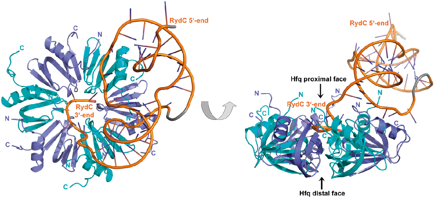 RNAregulation 2 349x260