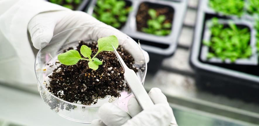 The model plant, Arabidopsis thaliana