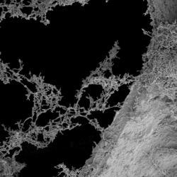 Rhodopseudomonas palustris bacteria on a carbon foam electrode