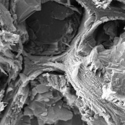 Cryo-scanning electron microscopy (cryo-SEM) analysis of a spruce stem section