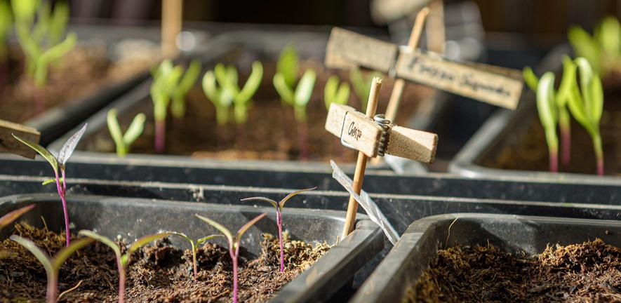 Young plants in growing trays.
