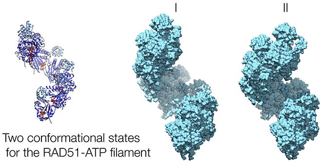 hRAD51-ATP filament